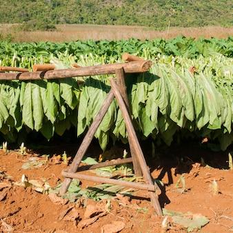 Tabaksbladeren drogen in vinales, cuba