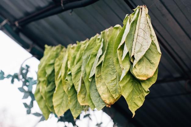 Tabaksbladeren drogen op touw