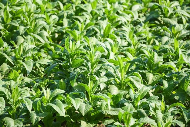 Tabaksplant groeit in de agrarische landbouw in aziatische en jonge groene tabaksbladerenplantage op de achtergrond van het tabaksgebied /