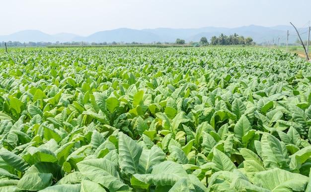 Tabaksplanten groeien in een veld in thailand