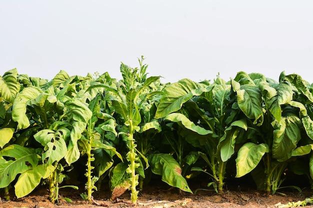 Tabaksplanten in het veld vóór de oogst
