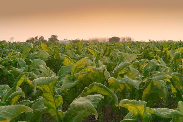 Tabaksvelden en avondlucht.