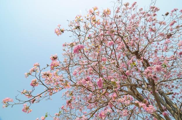 Tabebuia-rosea in thailand
