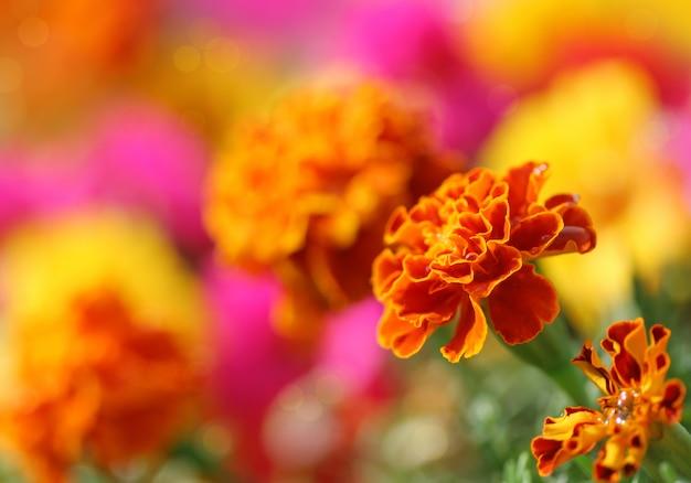 Tagetes bloem
