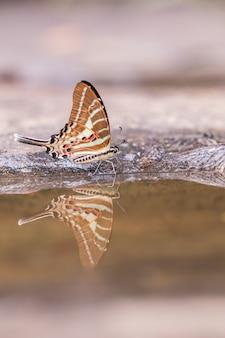 Tail jay-vlinder die water op aardachtergrond eten.