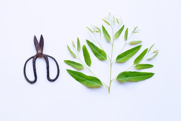 Tak en bladeren van eucalyptus met uitstekende schaar op wit