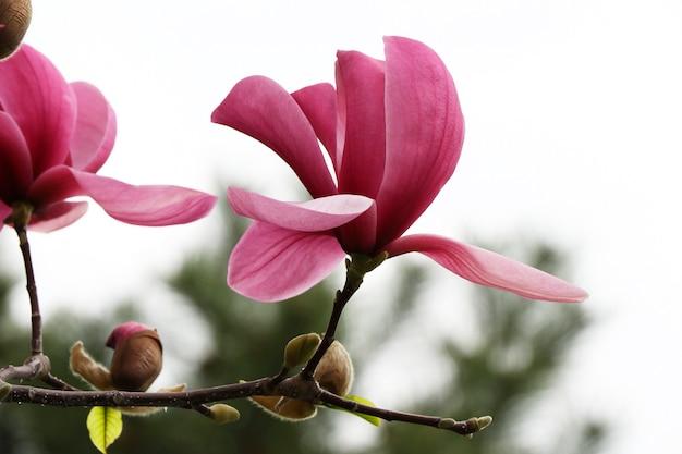 Tak met bloeiende magnolia bud.isolated op een witte achtergrond. close-up fotografie.