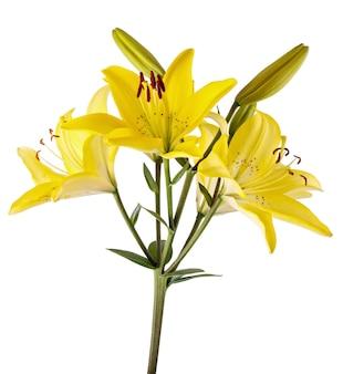 Tak met bloem van de knop de bloeiende lelie die op witte oppervlakte wordt geïsoleerd
