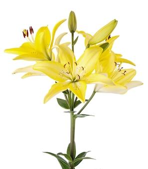 Tak met bud bloeiende lelie bloem geïsoleerd op wit.