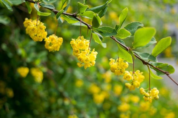 Tak met groene bladeren en hangende gele bloemen en knoppen op groen-geel.