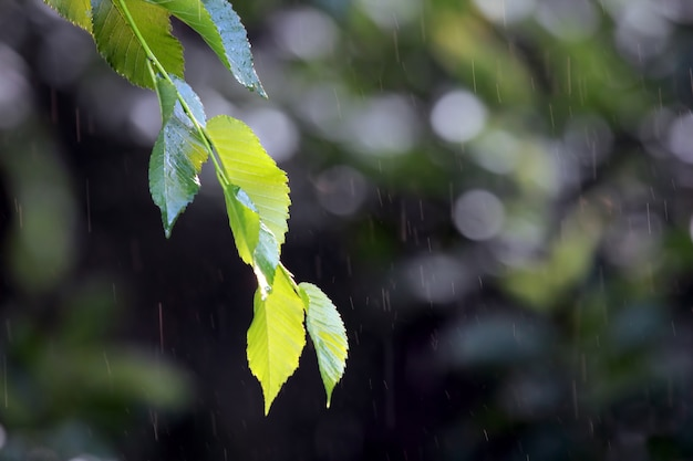 Tak met groene bladeren in de regen