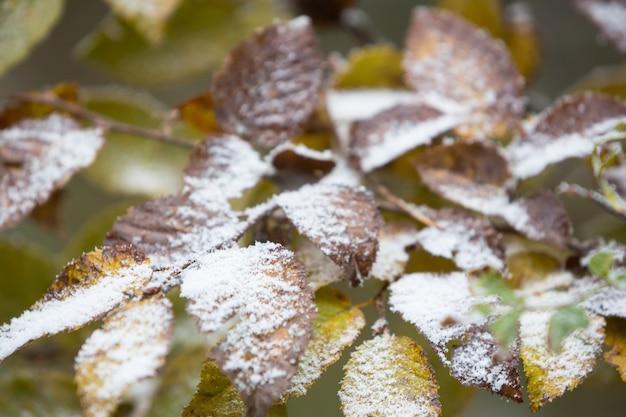 Tak met kleurrijke ulmusbladeren van de boom bedekt met eerste sneeuw in de late herfst