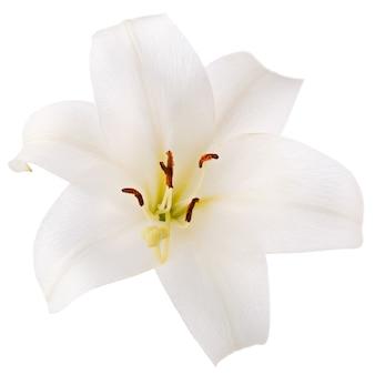 Tak met knop bloeiende lelie bloem geïsoleerd