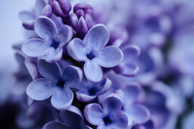 Tak met lila lentebloemen.