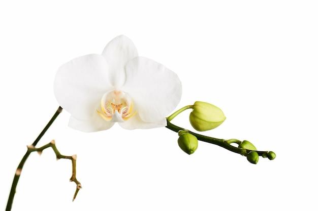 Tak met tropische orchideebloemen die op wit worden geïsoleerd.