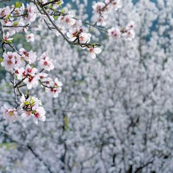 Tak met witte amandelbloemen over bloeiende amandelbomen