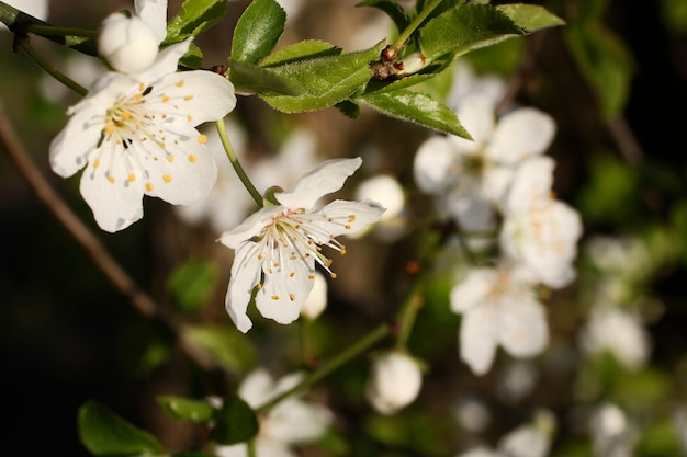 Tak met witte bloemen en verse groene bladerenlente fris geurende bloem