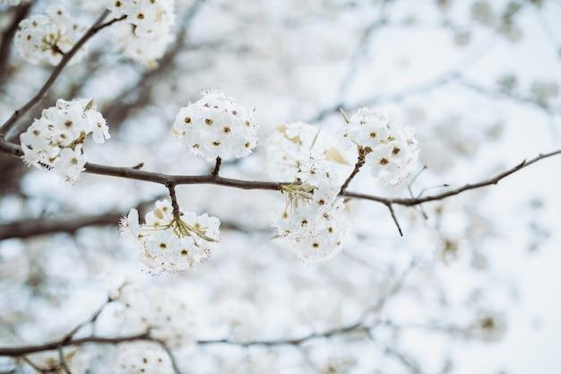 Tak met witte bloemenboom in de lente