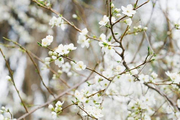 Tak met witte kersen bloemen in de lentetuin. selectieve aandacht. lente bloei. de eerste lentedag. 1 maart