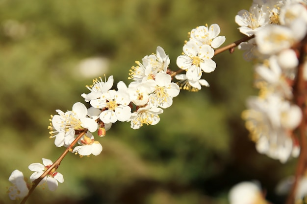 Tak van abrikozenboom bloemen op onscherpe achtergrond