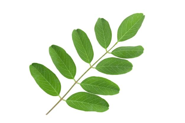 Tak van acacia isoleren op witte achtergrond