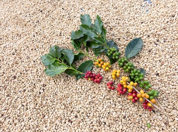 Tak van arabica koffiebessen, landbouw economie industrie bedrijf