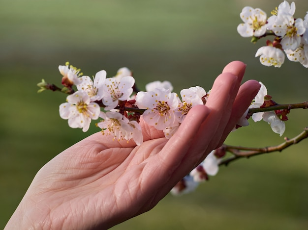 Tak van bloeiende abrikozen in de hand.