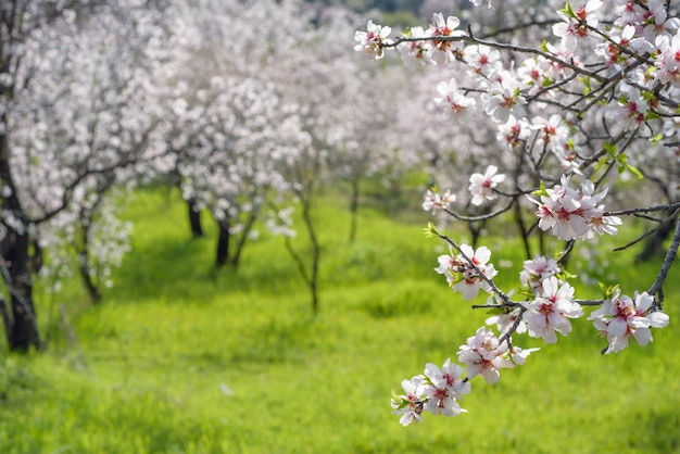 Tak van bloeiende amandelboom over groen gras en amandel tuin met selectieve aandacht en kopieer de ruimte