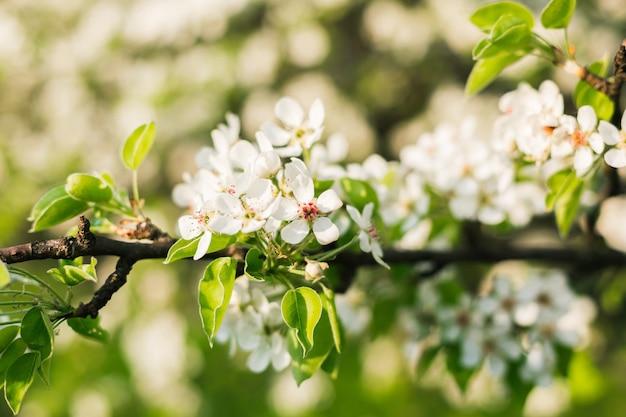 Tak van bloeiende appelboom met de zon