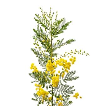 Tak van bloeiende mimosa bush op wit. internationale vrouwendag viering