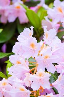 Tak van bloeiende roze rododendron