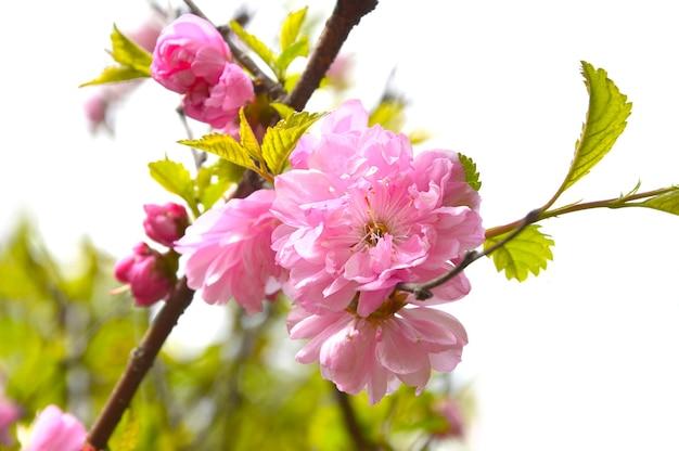 Tak van bloeiende sakura groeit in het verre oosten, rusland