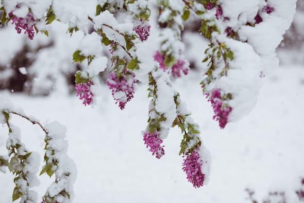 Tak van bloeiende sakuraboom onder sneeuw