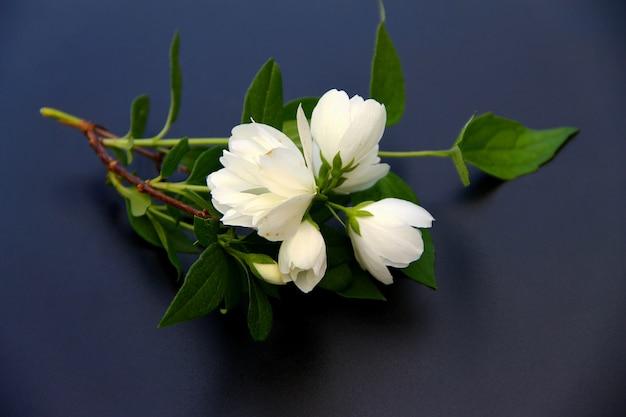 Tak van bloeiende witte jasmijn op een donkere achtergrond