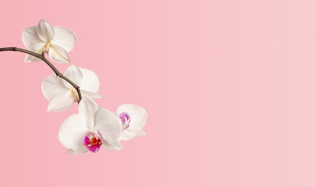 Tak van bloeiende witte phalaenopsis orchidee close-up op een roze achtergrond met kopie ruimte