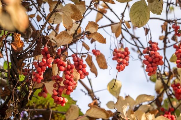 Tak van chinese magnolia wijnstokken bessen