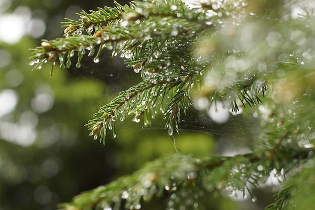 Tak van de dennenboom na de regen in de druppels water, ondiepe dof.