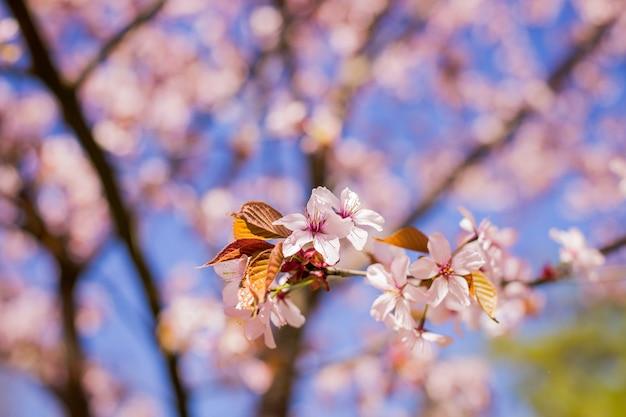 Tak van de kersenbloesem van de lente de bloeiende sakura