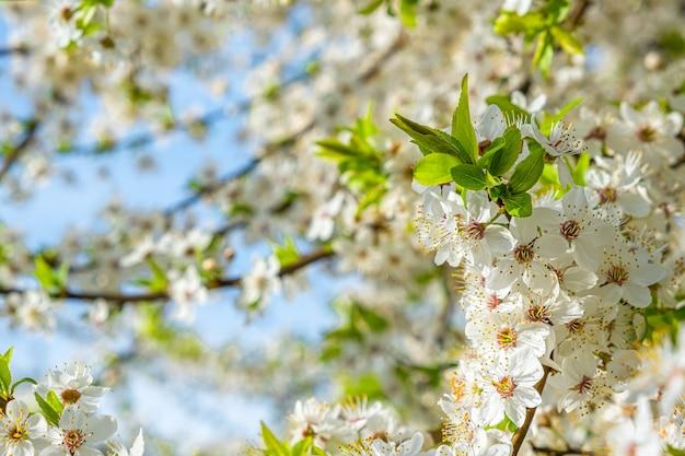Tak van de lente tot bloei komende kersenboom met mooie witte bloemen