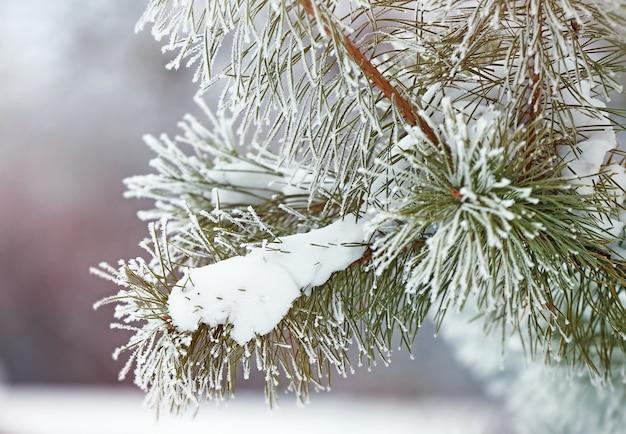 Tak van dennenboom bedekt met sneeuw, close-up