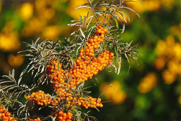 Tak van duindoorn in felle zon op onscherpe achtergrond van oranje bloemen