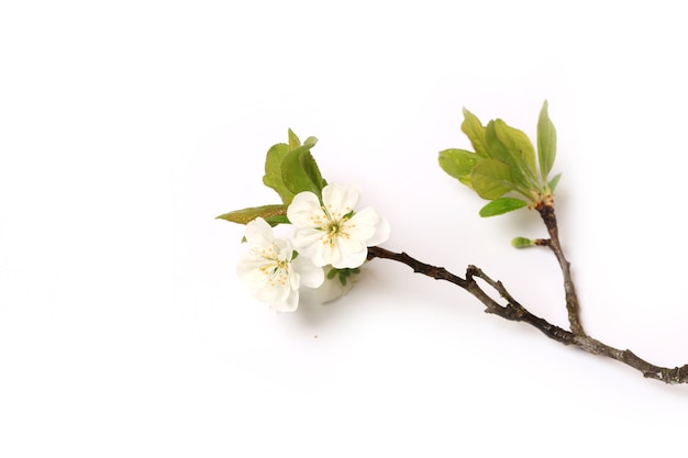 Tak van een bloeiende appelboom pruim peer geïsoleerd op een witte achtergrond bovenaanzicht van een plat liggend