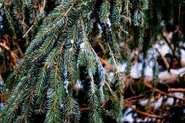 Tak van een denneboom met sneeuw erop