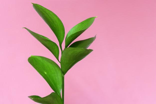 Tak van een groene decoratieve plant op een fel roze