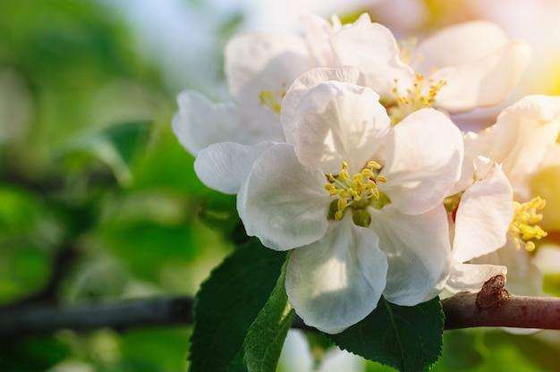 Tak van een tot bloei komende appelboom in de lentetuin