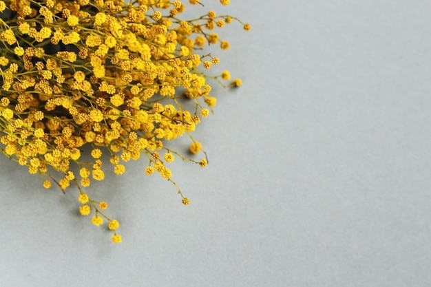 Tak van gele lente bloemen mimosa op grijze achtergrond