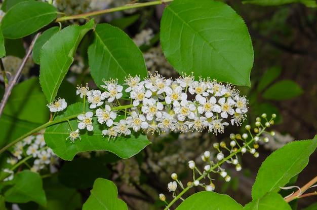 Tak van gewone vogelkers met witte bloemen op een groene achtergrond.