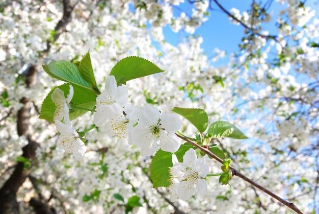 Tak van grote witte boom