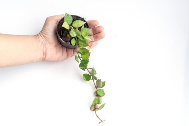 Tak van hoya krohniana in zwarte pot bij de hand isoleren op wit