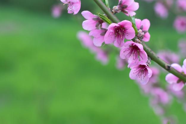 Tak van kersenbloesems op een felgroene achtergrond
